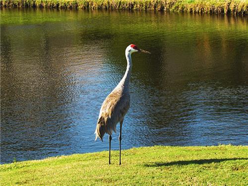 Sandhill Crane near water